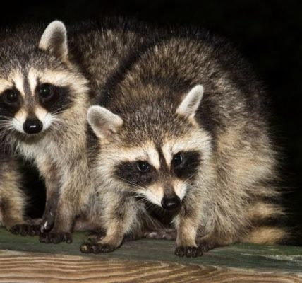Reasons Why You Should Be Hunting Raccoons