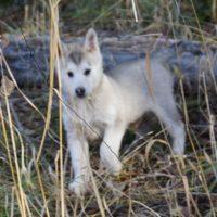 Siberian Husky/Alaskan Malamute Puppies
