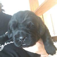 AKC Registered Newfoundland Puppies