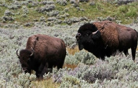 Yellowstone visitor tossed by local bison