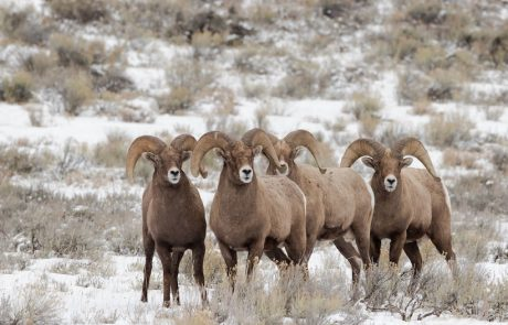 Transmissible mouth disease suspected in Yellowstone bighorn sheep