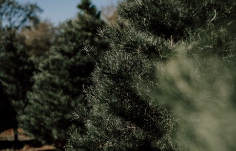 Christmas Tree Permits on Sale at Bridger-Teton National Forest Offices
