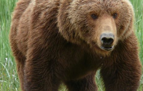 Game and Fish officials discuss grizzly hunts