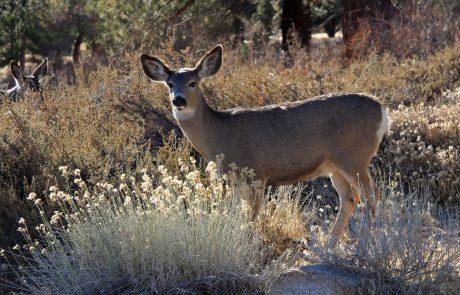 Info sought in mule deer case