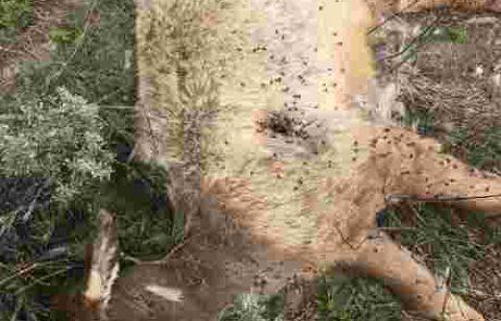 G&F Seeks Information on Greys River Elk Poaching