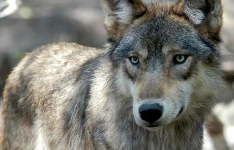 Wolf numbers curbed by hunting