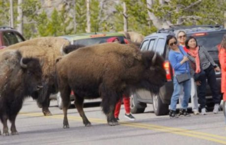 Woman gored by Yellowstone bison